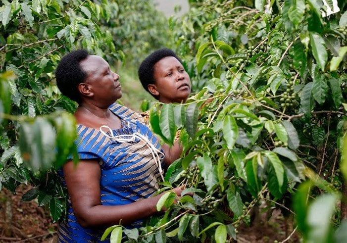 Women picking coffee cherries