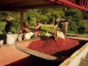 workers putting ripe coffee cherries in a container