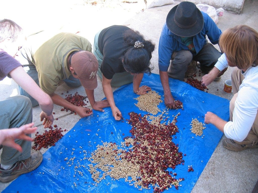 Coffee beans being sorted and pulped