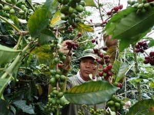 Man picking the ripe coffee cherries