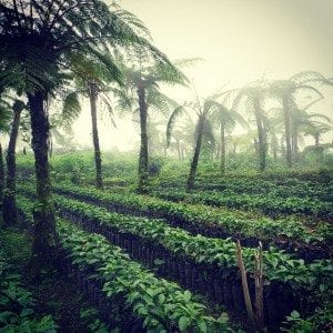 Coffee plants in beautiful landscape