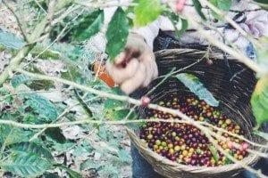Coffee crops