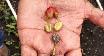 3 Factors Which Impact a Decision on Which Coffee Variety to Plant