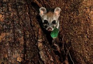 civet cat in its natural habitat