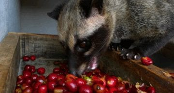 Kopi Luwak: The Cruelty Behind the World's Most Expensive Coffee