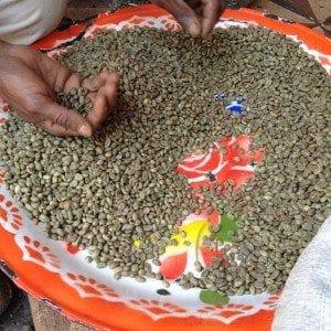 handpicking coffee beans