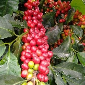 caturra coffee plant