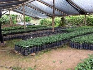 Coffee plants in Ecuador