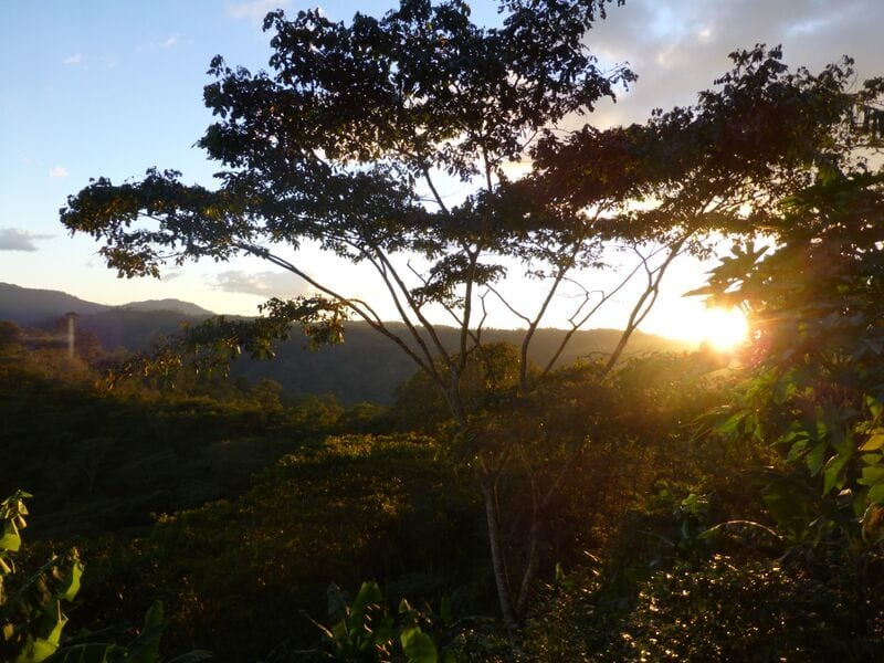 The sun breaking through the foliage at Finca La Argentina. Credit: Falcon Coffees
