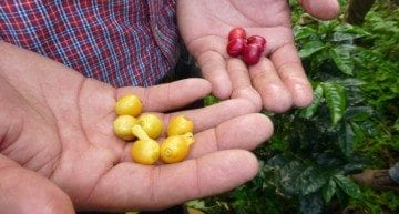 The Nicaraguan Coffee Industry & Story Behind Finca La Argentina