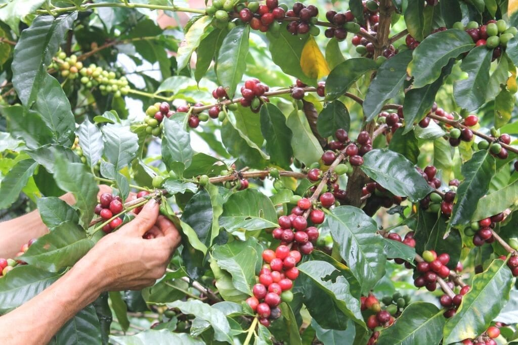 Picking the ripest Arabica coffee cherries