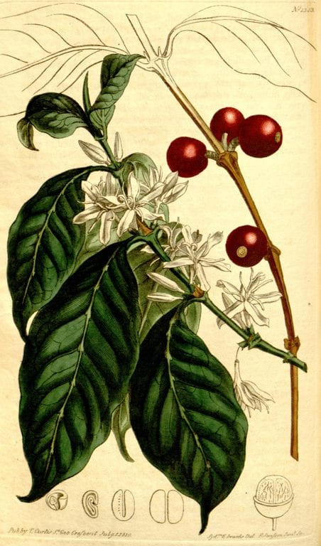 A botanical illustration of Coffea Arabica