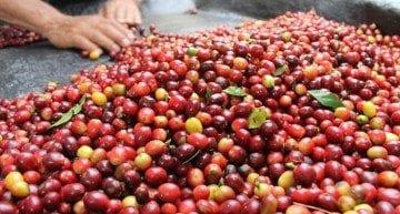 Coffee Plant Species: Arabica vs Specialty Robusta