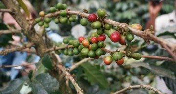 Ethiopian Coffee: Key to a Better Way of Life for Women & Children