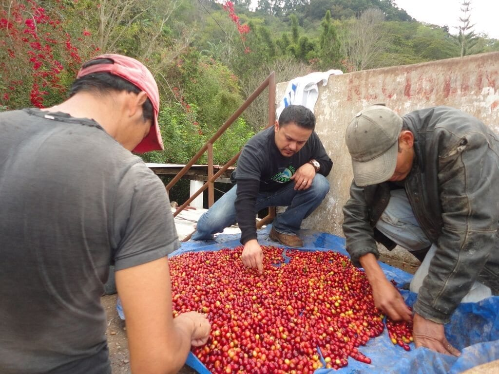 sorting through red coffee cherries