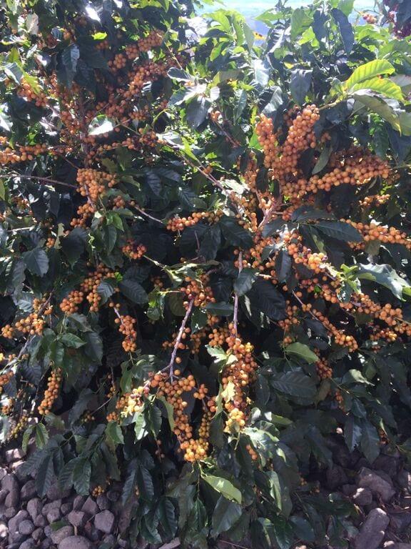 coffee cherries on tree