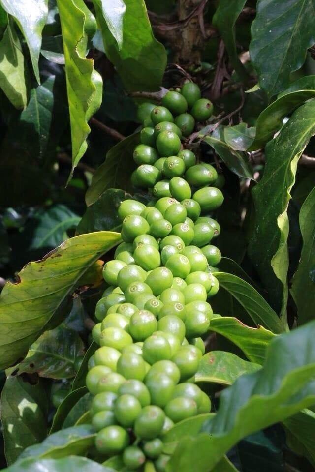El Pino Coffeenomics: Why You Should Buy Third Wave