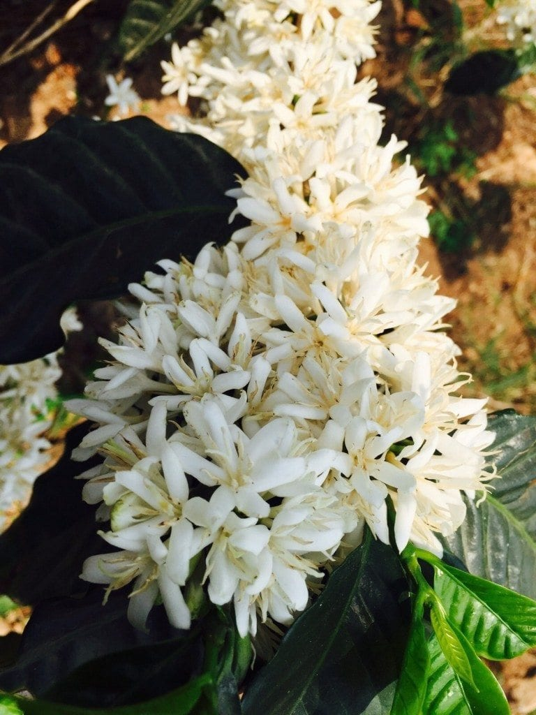 Coffee blossoms.