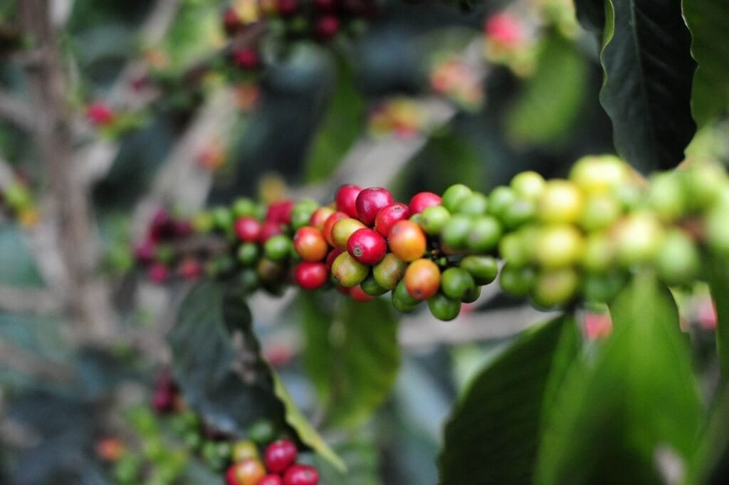 Coffee cherries growing in Cauca, southwestern Colombia