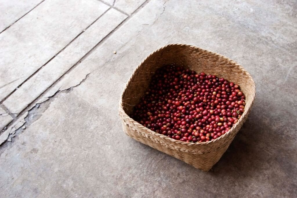Handpicked basket of cherries of coffee