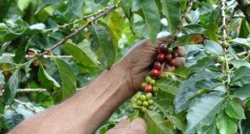 Specialty vs Commercial Coffee: 3 Key Processing Differences