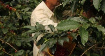 The Rise and Fall and Potential Rise of Brazilian Specialty Coffee