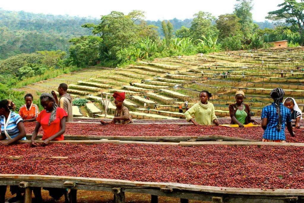 Drying coffee cherries