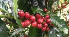 Geisha Coffee According to a 4th Generation Panama Producer