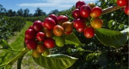 Specialty Coffee in Sri Lanka: From Production to Consumption