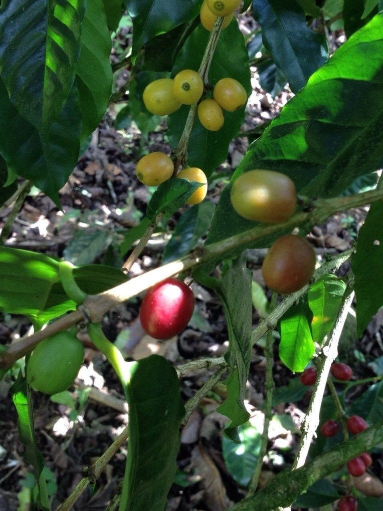 Cross pollination in coffee plants