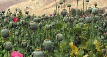 The Golden Triangle: What's the Link Between Opium and Coffee in SE Asia?