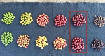 Coffee Science: How Can We Identify & Improve Cherry Ripeness?