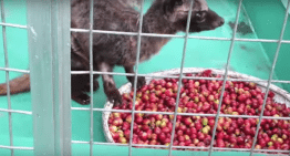 Kopi Luwak: The World's Shittiest Coffee Explained in 90 Seconds