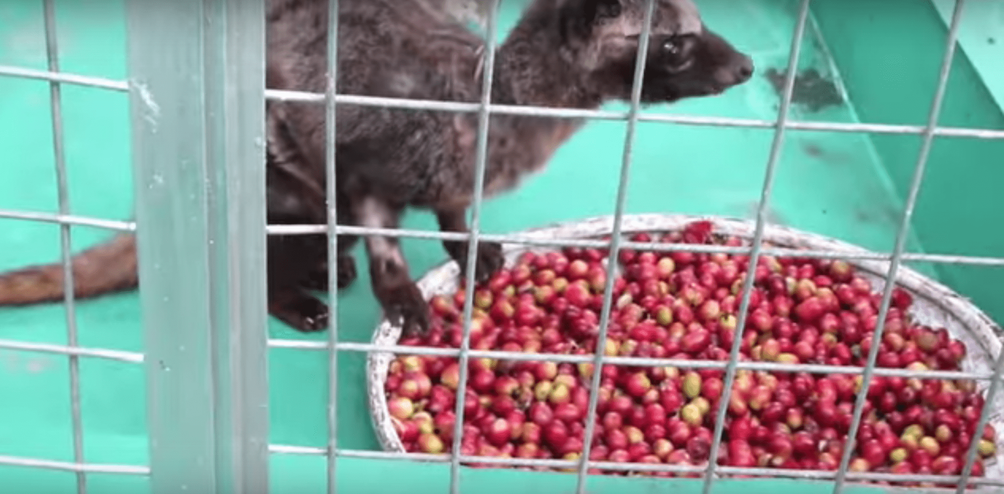 Civet coffee cruelty