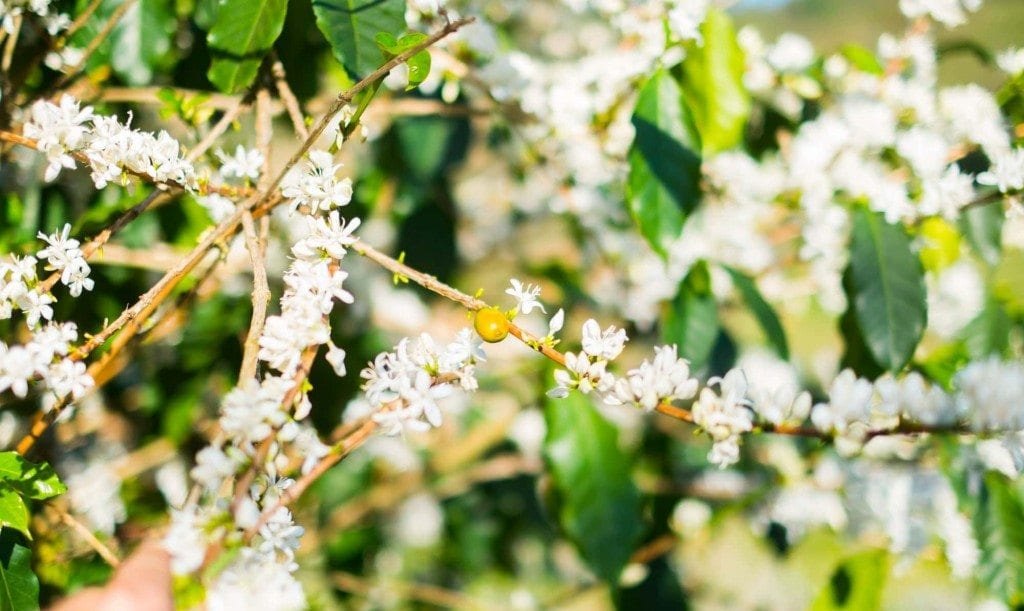 white coffee flowers in bloom
