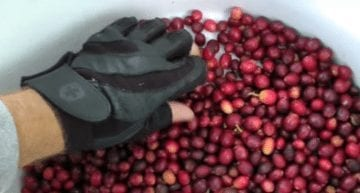 How Ripe is Too Ripe? A VIDEO Guide to Coffee Cherry Picking