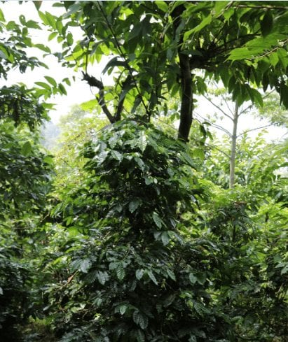 Bourbon coffee variety coffee tree