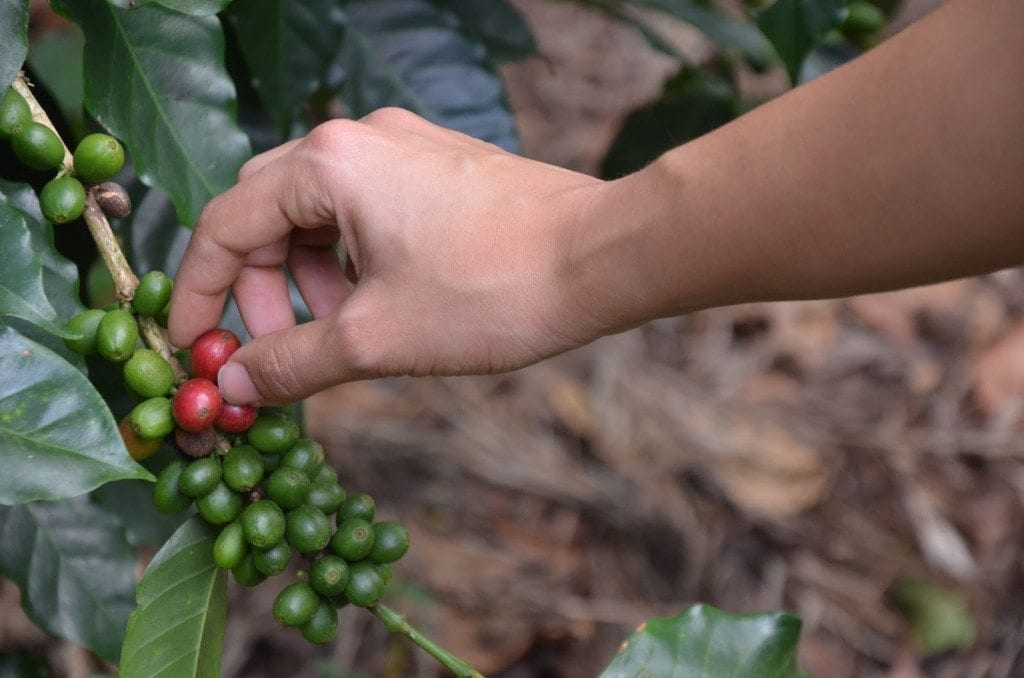 picking a coffee cherry