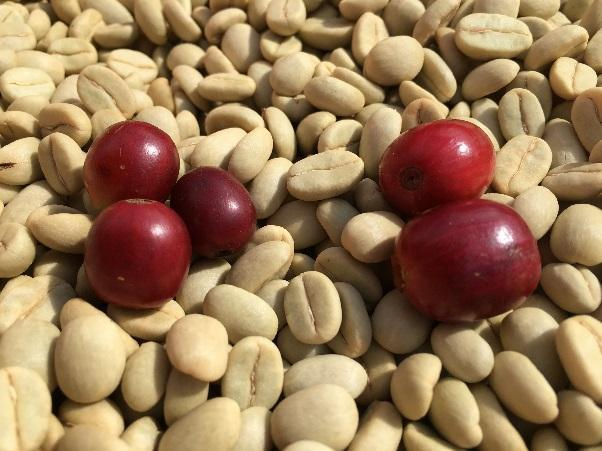 coffee beans and ripe coffee cherries
