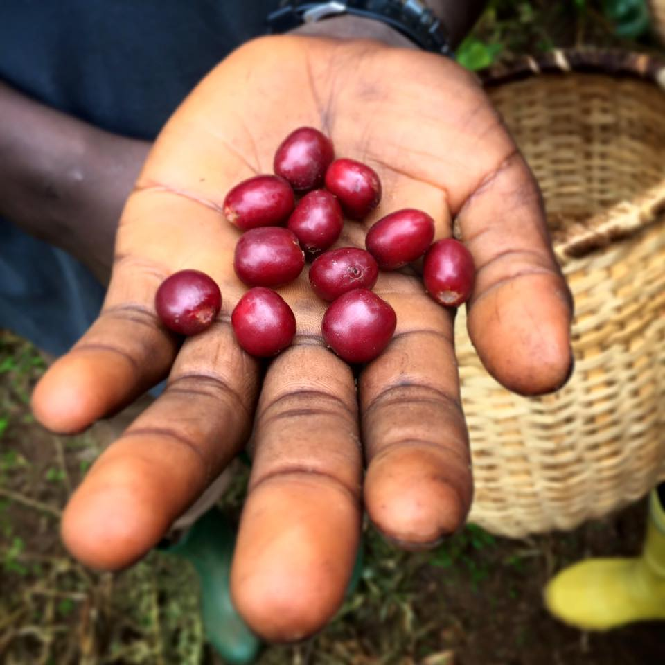 picking ripe coffee cherries