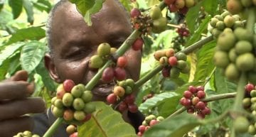 Origin Insight: How to Prune & Stump Coffee Trees in 2 VIDEOS
