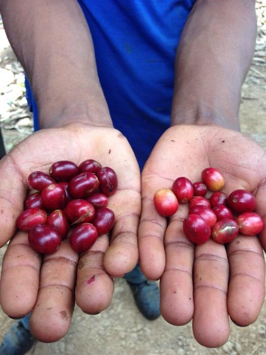 ripe and unripe coffee cherries