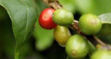 Shade-Grown Coffee 101: A VIDEO Introduction