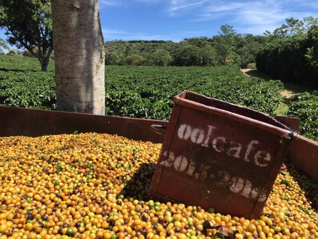 yellow coffee cherries picked