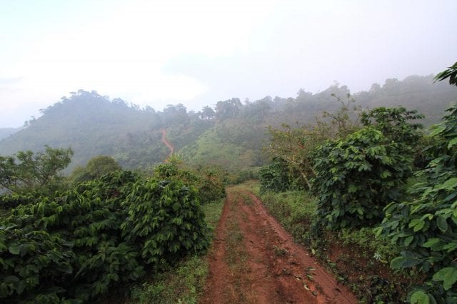 A coffee farm at Doi Pangkhon Thailand