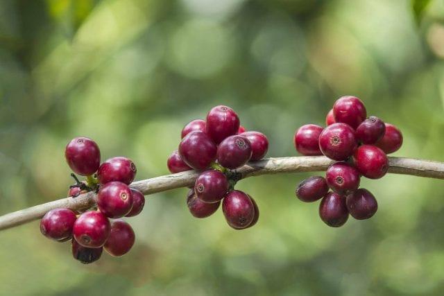 ripe-bourbon-cherries