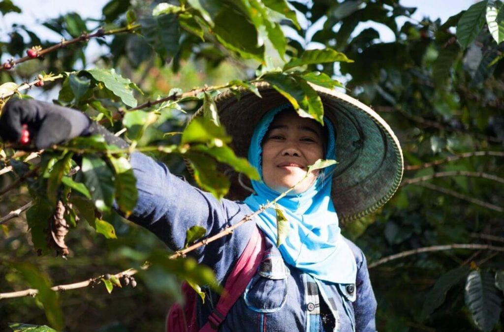 Javanese woman picks coffee cherries