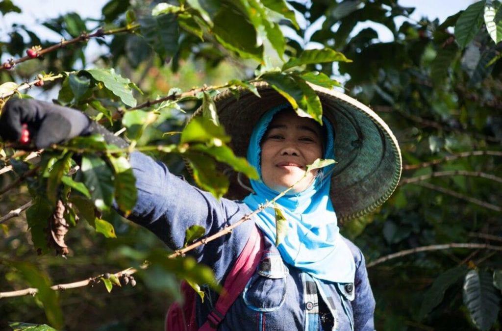 Javanese woman picks coffee cherries
