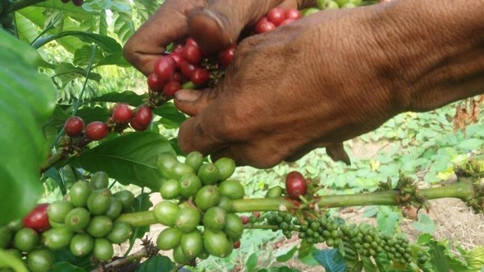 Ecuadorian Robusta being picked