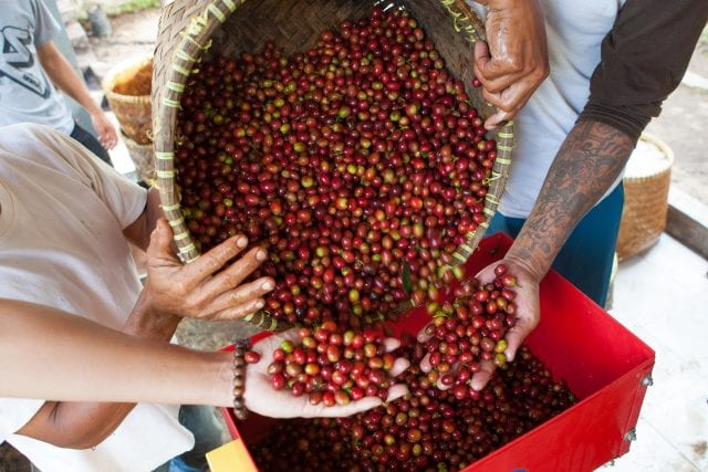 Indonesian coffee cherries